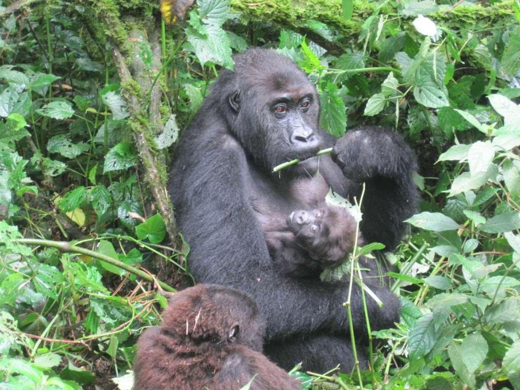 Up-close shot of gorillas during Terry's tour in the Bukavu mountains.