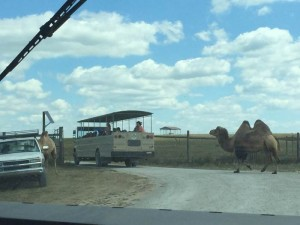 Bactrian Camels at the Wilds!